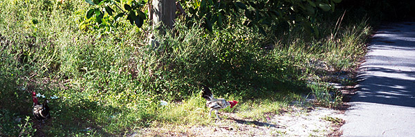 chickens cross road to search for WMD on other side